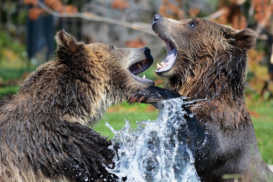 Francja wprowadza niedźwiedzie w region Pirenejów. Hodowcy owiec protestują