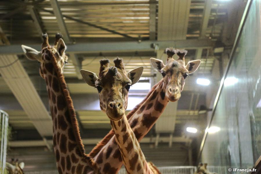 Noc w ogrodzie zoologicznym – konkurs paryskiego zoo