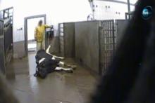 Wołowina z polskiej ubojni, w której zabijano chore krowy, trafiła również do Francji