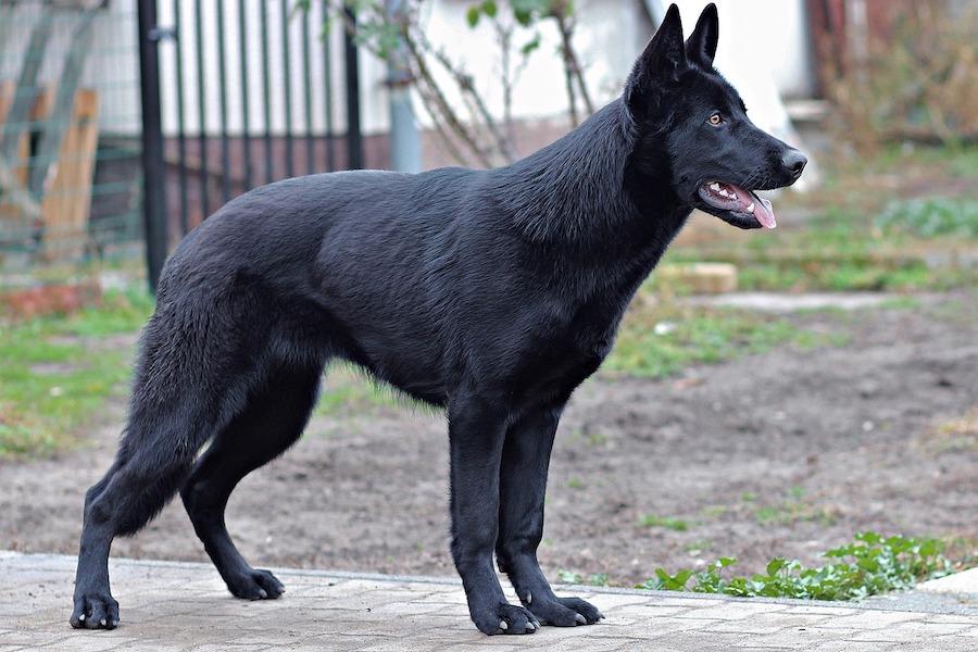 Psy bardzo skutecznie wykrywają koronawirusa u ludzi – według francuskiego badania