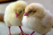 Francja zakaże mielenia żywcem kurcząt i kastracji prosiąt bez znieczulenia