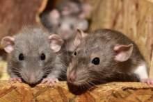"""Radni Strasburga chcą określać szczury i pluskwy mianem """"współbiesiadników"""""""