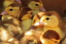 Masowy ubój drobiu z powodu epidemii ptasiej grypy