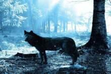 Złapano czarnego wilka zbiegłego z rezerwatu w czasie powodzi, sześć wciąż ucieka