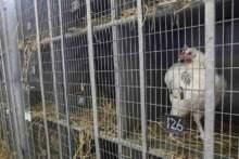 Raport: skandaliczne warunki hodowli drobiu na farmach przemysłowych