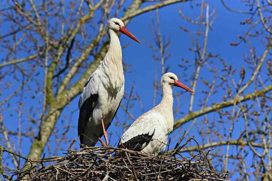 Krajowa Liga Ochrony Ptaków ogłasza wielki powrót bocianów