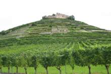 Produkcja wina spadnie w tym roku o 29 proc.